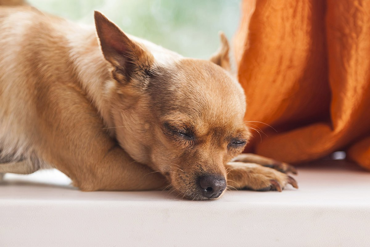 As The Smallest Breed Of Dog, Chihuahuas Are Perfect For Those With Smaller  Apartments With Limited Nearby Grassy Areas. Small And Easy To Carry, ...