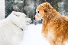 Dog Breeds Best Suited for Chicago Winters