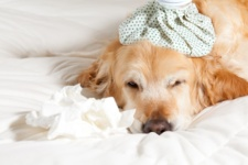What You Need to Know about Dog Flu in Chicago